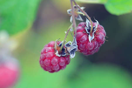 Close up of ripe, red wild Raspberries (Rubus spp) growing in nature. Shallow depth of field.