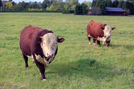 hereford: Two large, curious Hereford bulls on green meadow in early autumn.
