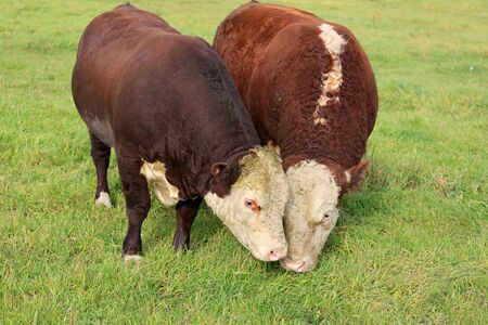 Two Hereford bulls eating close together on green grass field.