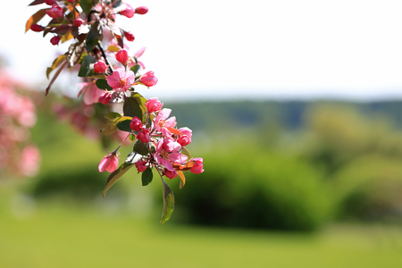crab apple tree: Beautiful background of an ornamental Apple tree flowers on a branch with view to defocused green spring garden. Copy space right, suitable for backgrounds.