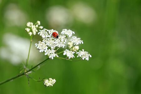 coccinella: Seven Spotted Ladybug, Coccinella septempunctata, on white flowers of Cow Parsley, Anthriscus sylvestris, with green background of grass at summer. Shallow dof, copy space right. Stock Photo