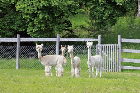 Group of four shorn white Alpacas standing and looking on a green meadow in Finland. Stok Fotoğraf