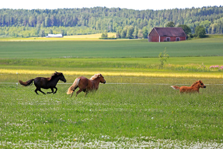 Two horses and a foal run on a field with flowers on a beautiful day of summer. Stock Photo