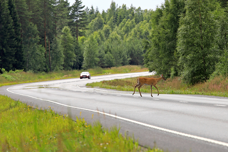 White-Tailed Deer, Odocoileus virginianus, crosses highway in South of Finland at summer with a car approaching behind the curve.