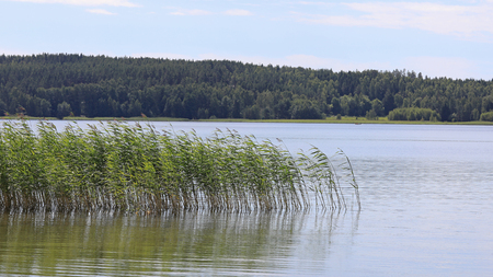 common reed: Seashore with Common Reed on a sunny day of summer.