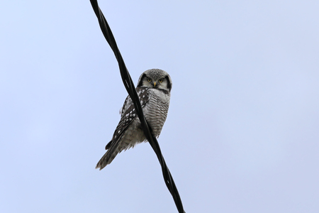Northern Hawk-owl, Surnia ulula, sits on power line and watches for pray.