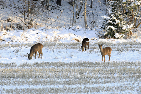 Three White-tailed deer feeding on snowy stubble field in winter.  Stock Photo