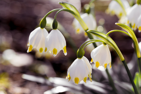 Spring Snowflake flowers Leucojum vernum in the forest Stock Photo