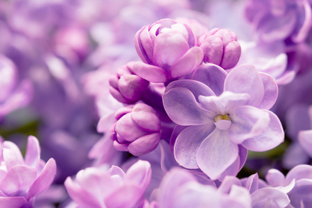Lilac flowers branch. Greeting gift card background