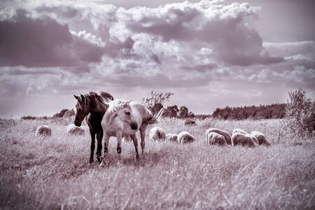 caballo bebe: Brown y caballos blancos y ovejas pastando en el prado. Efecto de la vendimia Foto de archivo