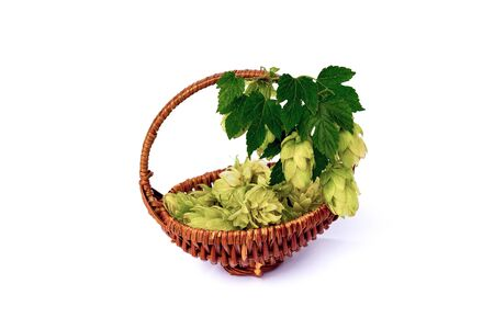 lupulus: Hops twig and dried flowers in the basket isolated on a white background.