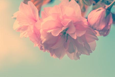 桜の花桜の花。グリーティング カードの背景。ビンテージ ソフト トーン効果