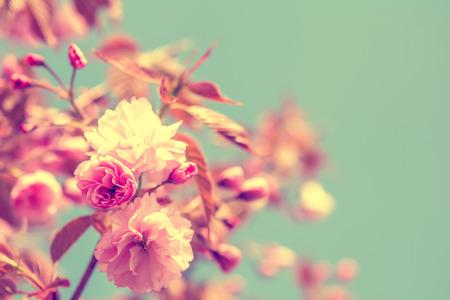 Sakura fleur, fleur de cerisier. Carte de voeux de fond. effet tonique doux Vintage