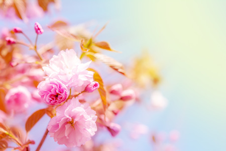 Sakura flower cherry blossom. Greeting card background. Soft toned effect