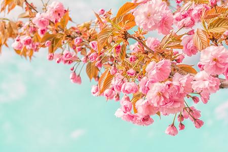 vintage background: Sakura flower cherry blossom. Greeting card background. Vintage soft toned effect. Shallow depth Stock Photo