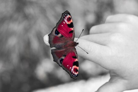 io: European peacock butterfly on the child fingers. Black and white with color Stock Photo