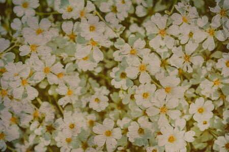 cerastium tomentosum: Snow-in-Summer Cerastium tomentosum flower blossom. Greeting card background. Soft focus vintage effect Stock Photo