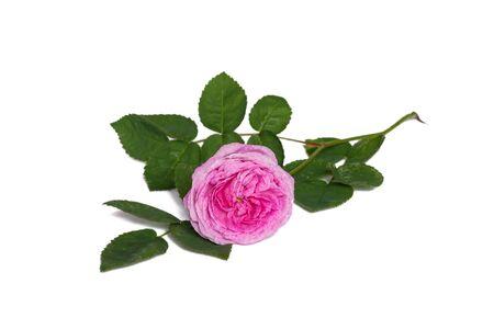 polyanthus: Pink polyanthus rose flower isolated on white background Stock Photo