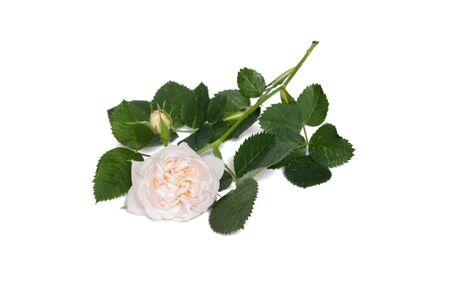 polyanthus: beige polyanthus rose flower isolated on white background
