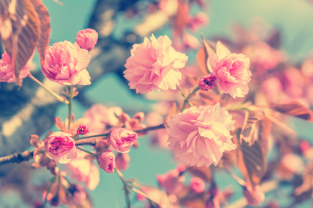 Sakura flower cherry blossom. Greeting card background. Vintage soft toned effect. Shallow depth Imagens