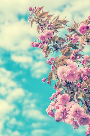 Sakura flower cherry blossom. Greeting card background. Vintage soft toned effect. Shallow depth Stock Photo