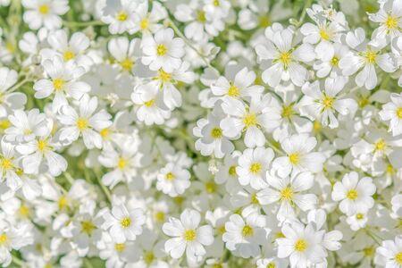 cerastium tomentosum: Snow-in-Summer Cerastium tomentosum flower blossom. Greeting card background. Soft focus