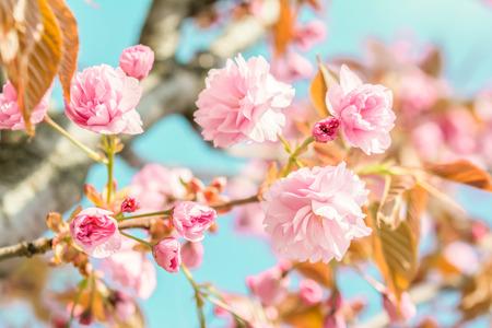 Sakura Blume Kirschblüte. Grußkarte Hintergrund. Weich getönter Vintage-Effekt. Geringe Tiefe Standard-Bild - 71389471