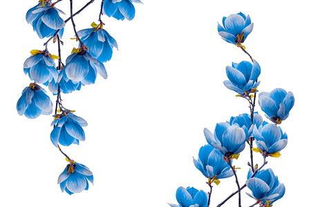 Magnolia blue flower blossom isolated on white background. Greeting card