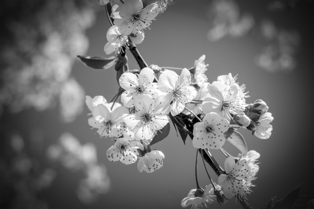 Sakura Flower Cherry Blossom Greeting Card Background Black And White Stock Photo