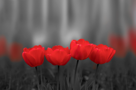 Red tulip flowers blossom on black and white blured background