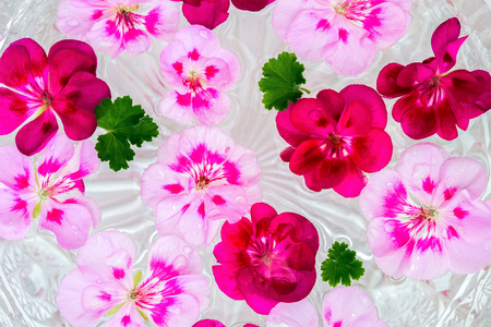 Pelargonium geranium flower on water background with drops