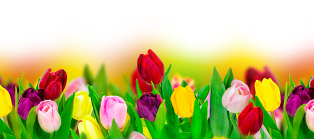 Tulip colorful flower panoramic border on white. Greeting card background