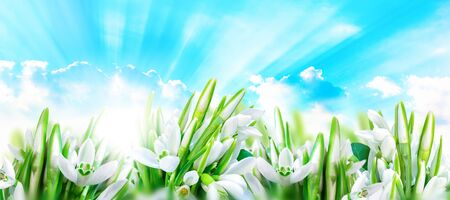 Snowdrops flower blossom, clouds, sky and sun light. Panorama nature background. Greeting card Stock Photo