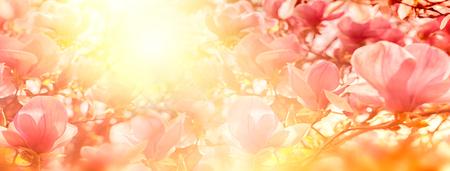 太陽の光バックライト、浅い深さでマグノリアの花の開花。 写真素材