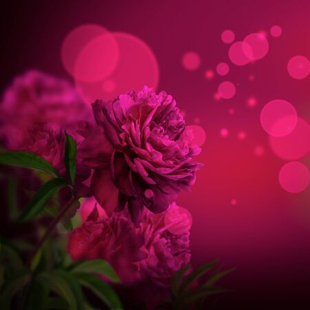 Pink peony flowers blossom on dark background. Greeting card template. Dark toned Stock Photo