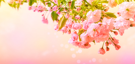 Sakura flower cherry blossom. Greeting card background template. Shallow depth. Soft toned