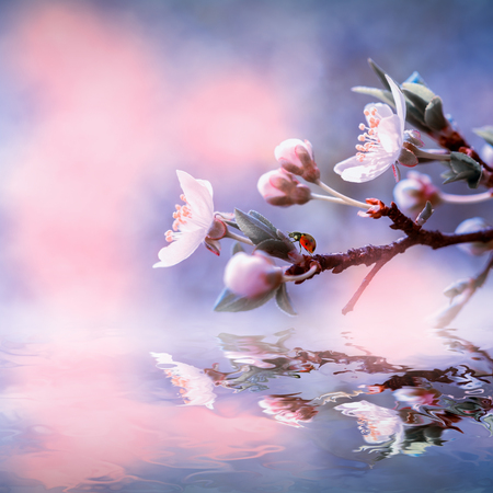 Sakura flower cherry blossom water reflection. Greeting card background template. Shallow depth. Soft toned