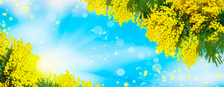 Mimosa flowers background. Blooming spring mimosa tree over blue sky and sun. Greeting card template. Shallow depth