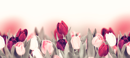 Tulip pastel flower panoramic border on white. Greeting card background template. Vintage toned
