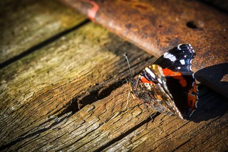 Indian red admiral butterfly on a wooden background close up. Dark toned. Copy space Stock Photo