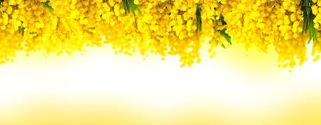 Mimosa flower bloom panoramic background. Greeting card template. Shallow depth. Copy space