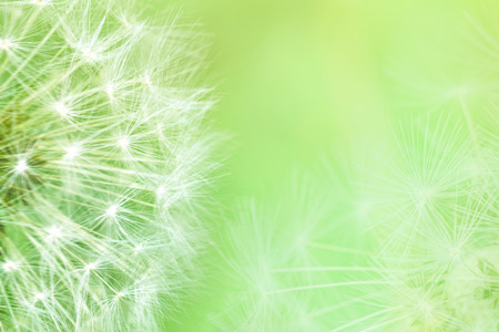 Dandelion seeds closeup blowing on light green background. Greeting card template. Soft toned. Copy space