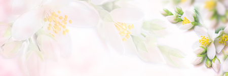 White and beige jasmine flower blooming panorama. Faded colors. Shallow depth soft focus. Toned image. Greeting card template background Stock Photo