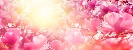 日照のバックライト、浅い深さでマグノリアの花の開花。柔らかいヴィンテージ調子。グリーティング カード テンプレート。自然のパノラマの背景 写真素材