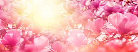 Blossoming of magnolia flowers in sun light backlit, shallow depth. Soft vintage toned. Greeting card template. Nature panorama background. Archivio Fotografico