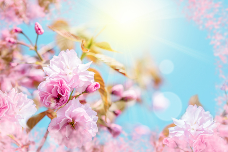 Beautiful sakura flower cherry blossom. Greeting card background template. Shallow depth. Soft toned. Spring nature.
