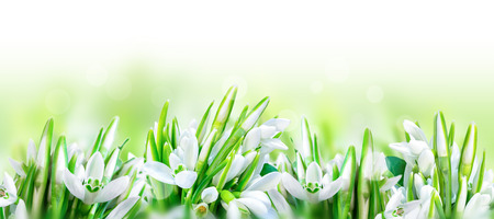 Beautiful snowdrops flower blossom isolated on white panorama background. Spring nature. Greeting card template. Soft toned.