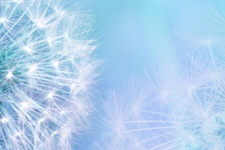 Dandelion seeds closeup blowing on light blue background. Greeting card template. Soft toned. Copy space. Spring nature.