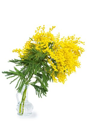 Beautiful mimosa flower blossom in glass vase isolated on white background. Shallow depth. Greeting card template. Copy space. Spring nature. Stock Photo