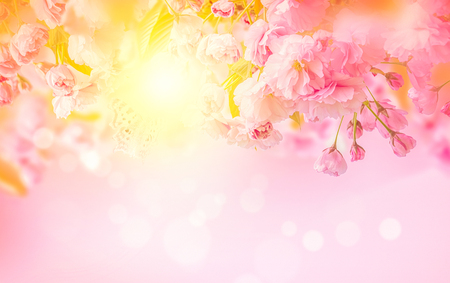 Beautiful sakura pink flower cherry blossom and sun background. Greeting card template. Shallow depth. Soft toned. Spring nature. Stock Photo